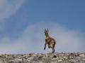 dağ keçisi